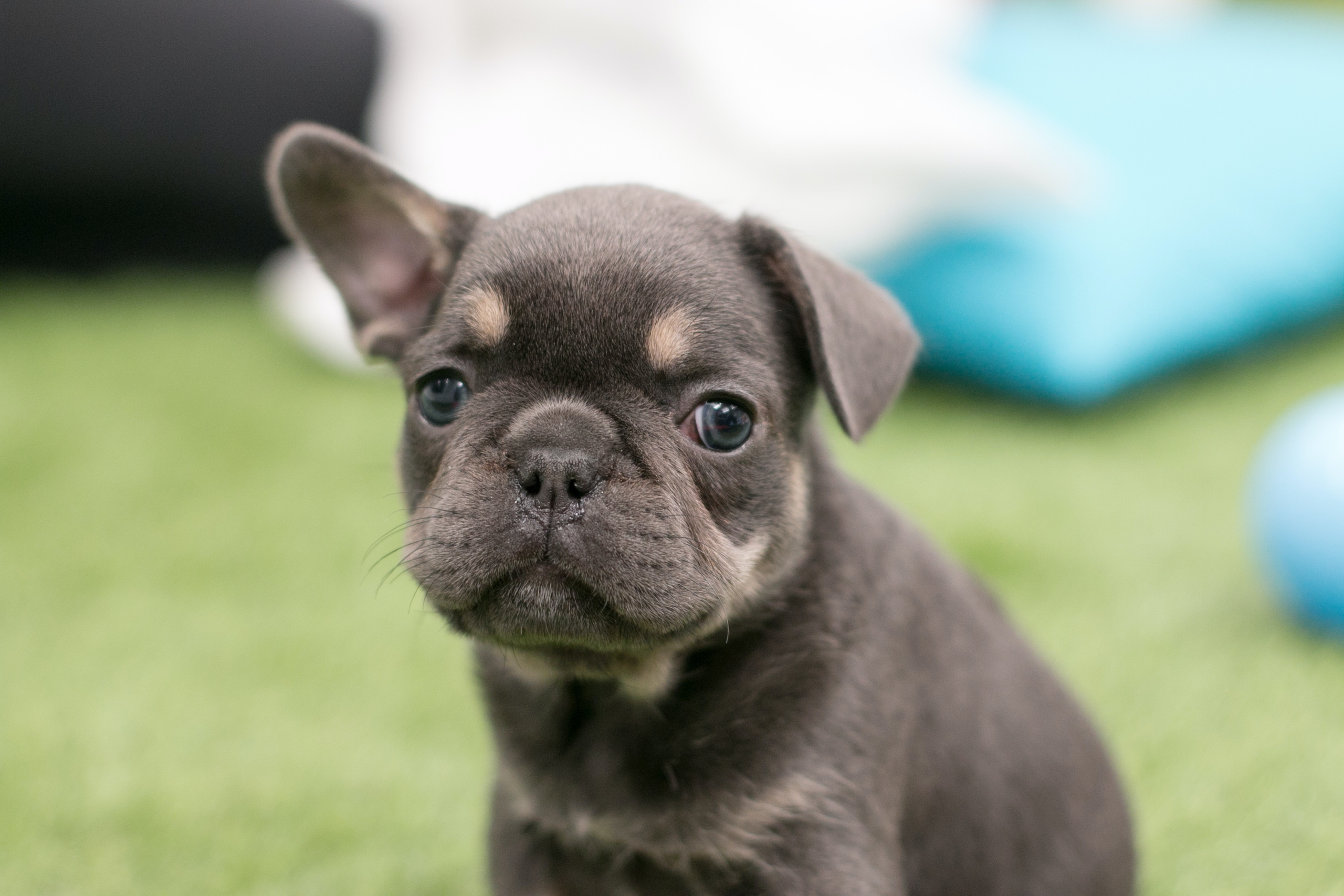 Brachycephalic dogs what to look for 202001 PIW Intituit 6889