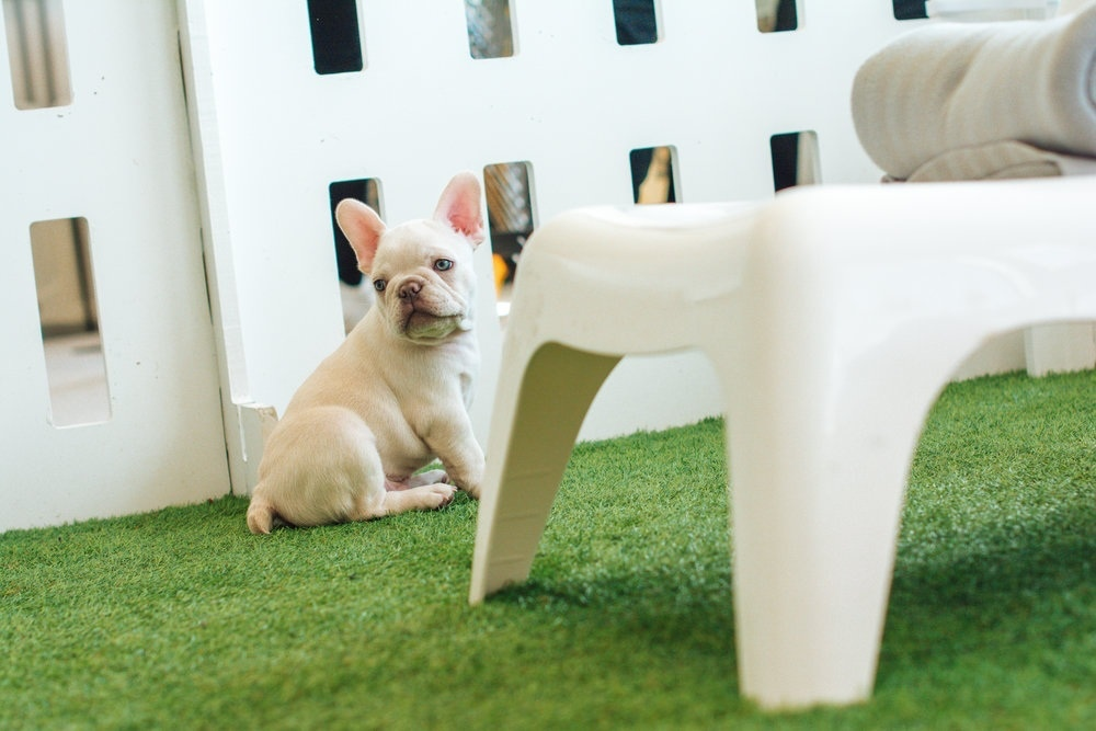 French Bulldog Puppy by Chair
