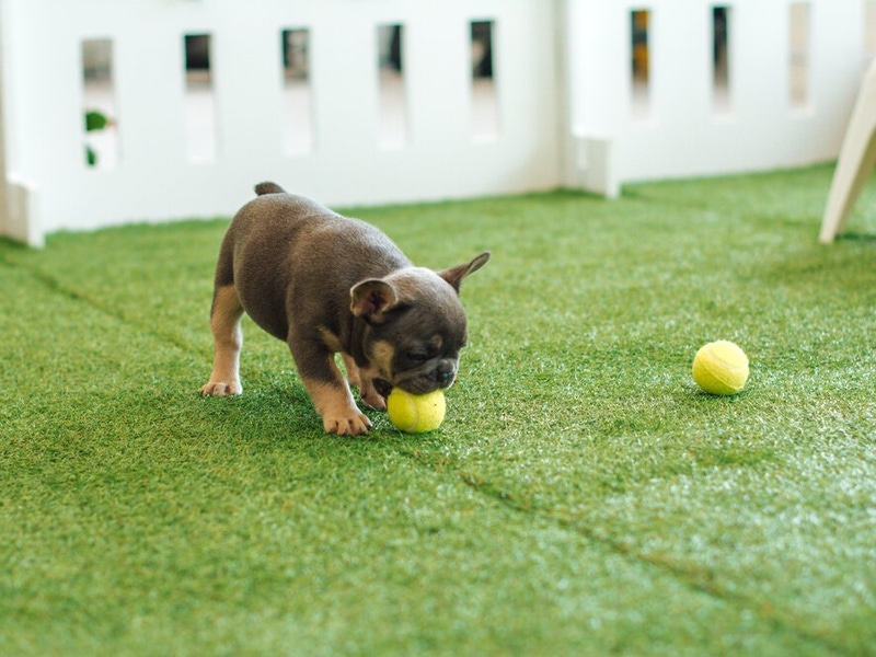 pup with tennis balls