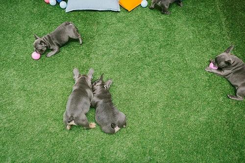 Georgie Lord TOG Puppy Club 16small